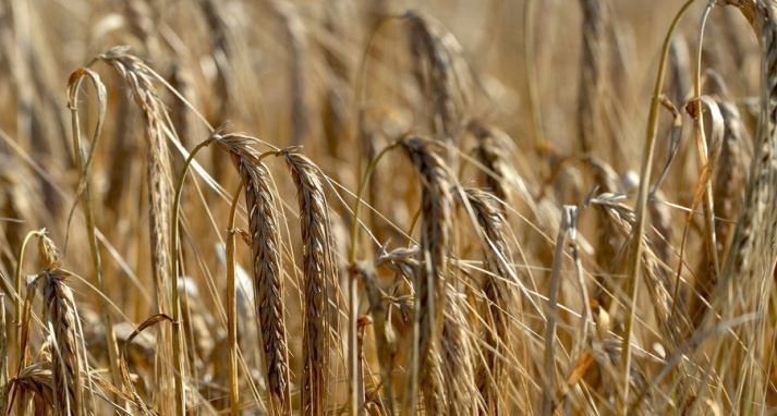 Russland erwartet wieder eine reiche Getreideernte