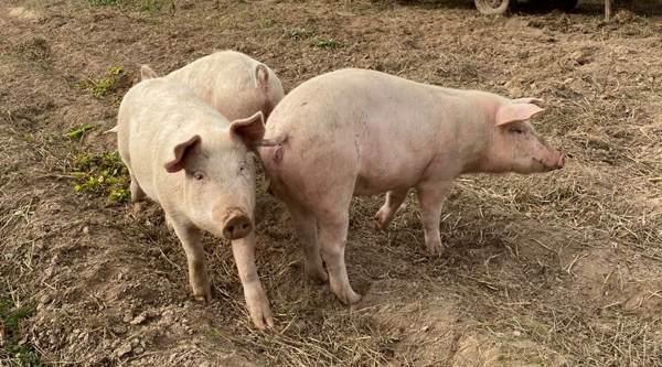 Für Katzen und Schweine: Weltweit erster Impfstoff gegen Corona für Tiere in Russland registriert